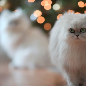 white cats pet custody